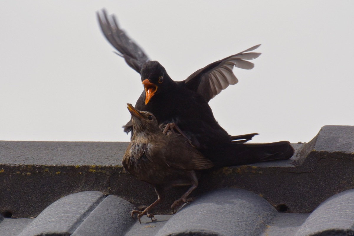 Somehow she backed up against the roof ridge for support. I often wonder where the tails disappear to.