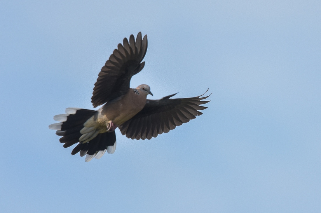 Spotted Turtle Dove on apprach. Note the alula feathers hard at work.