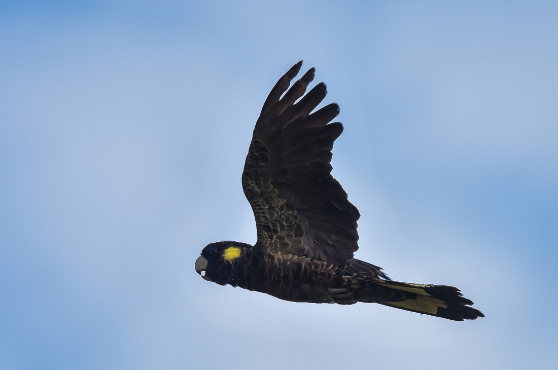 Yellow-tailed Black-cockatoo.