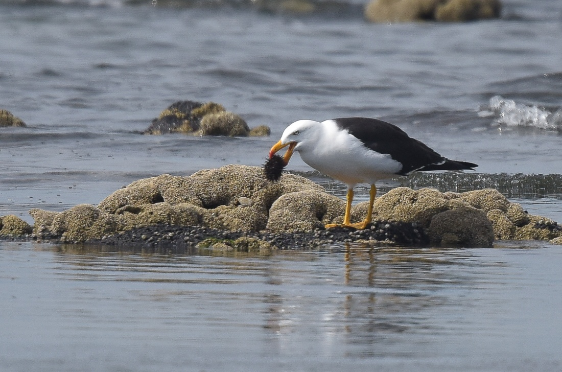 Must be good food for a Pacific Gull, they seem to be in the area most visits