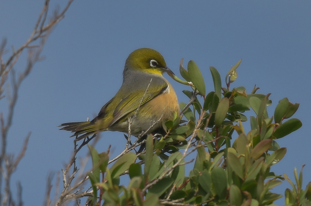 One of about six Sivereye at work on a tree.