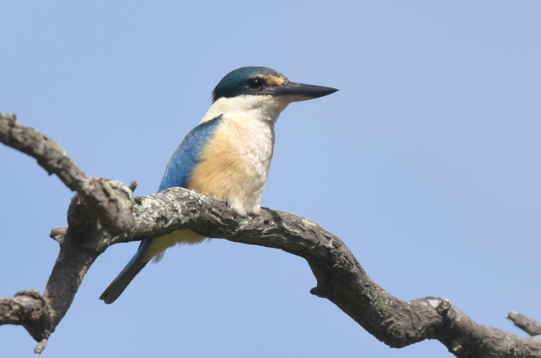 Oh, there you are. After much searching the Sacred Kingfisher came to visit us