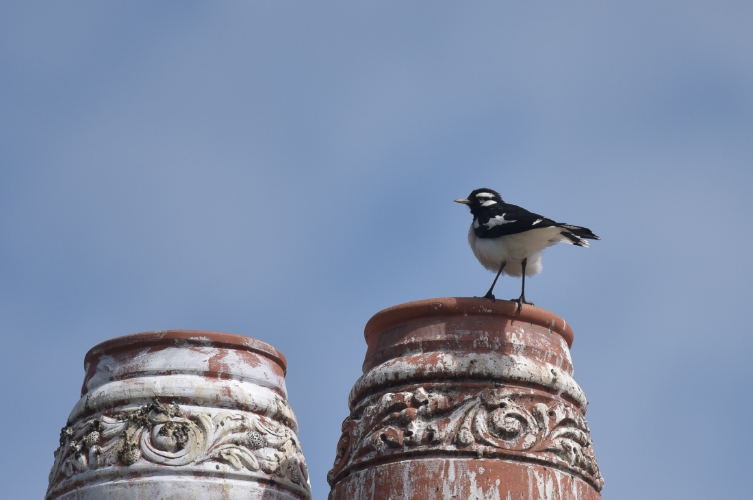 Magpie-lark make even chimmney post look good.