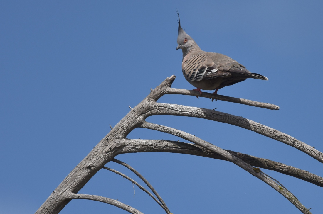 There is something other world about Crested Pigeons