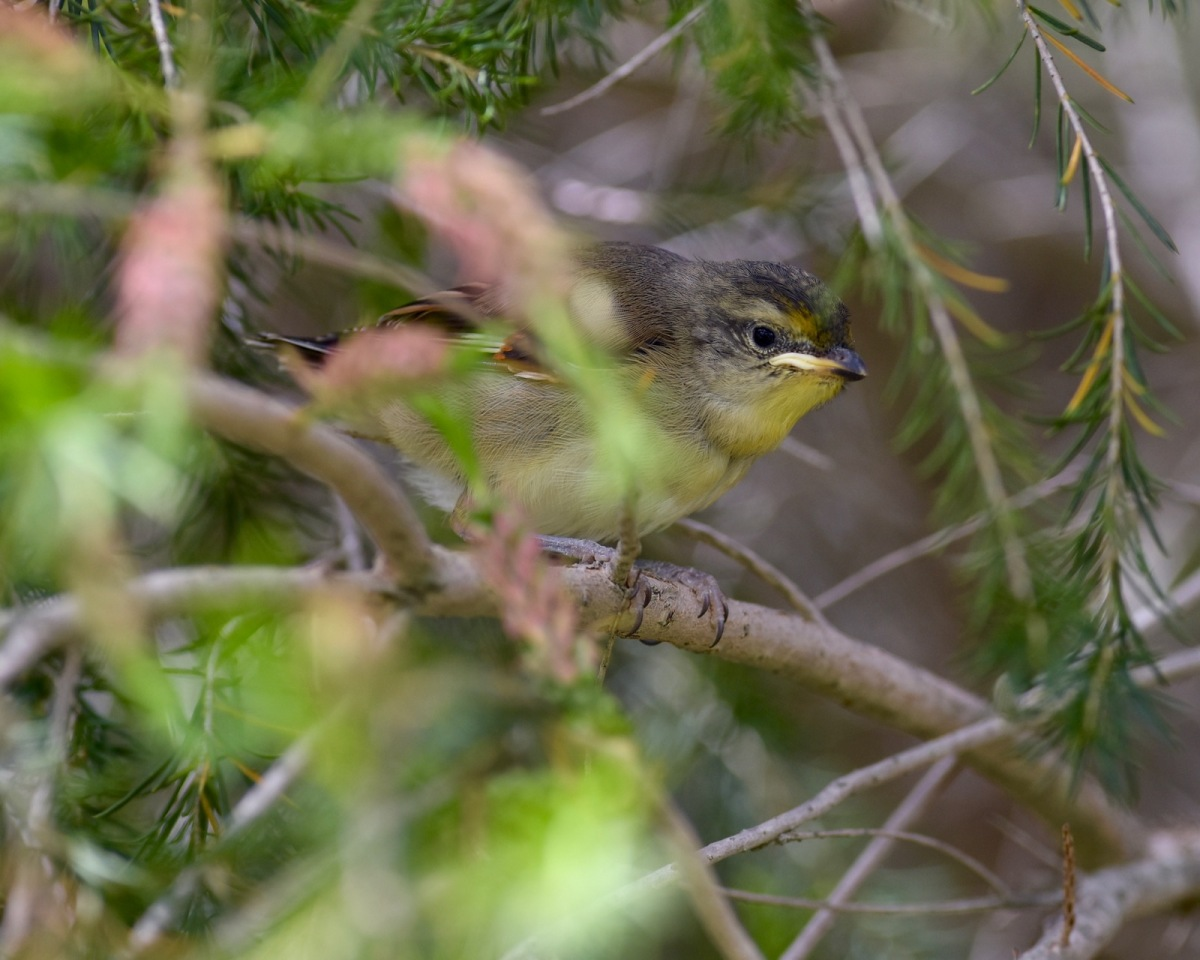 Young Striated Pardalote, waiting for a food delivery