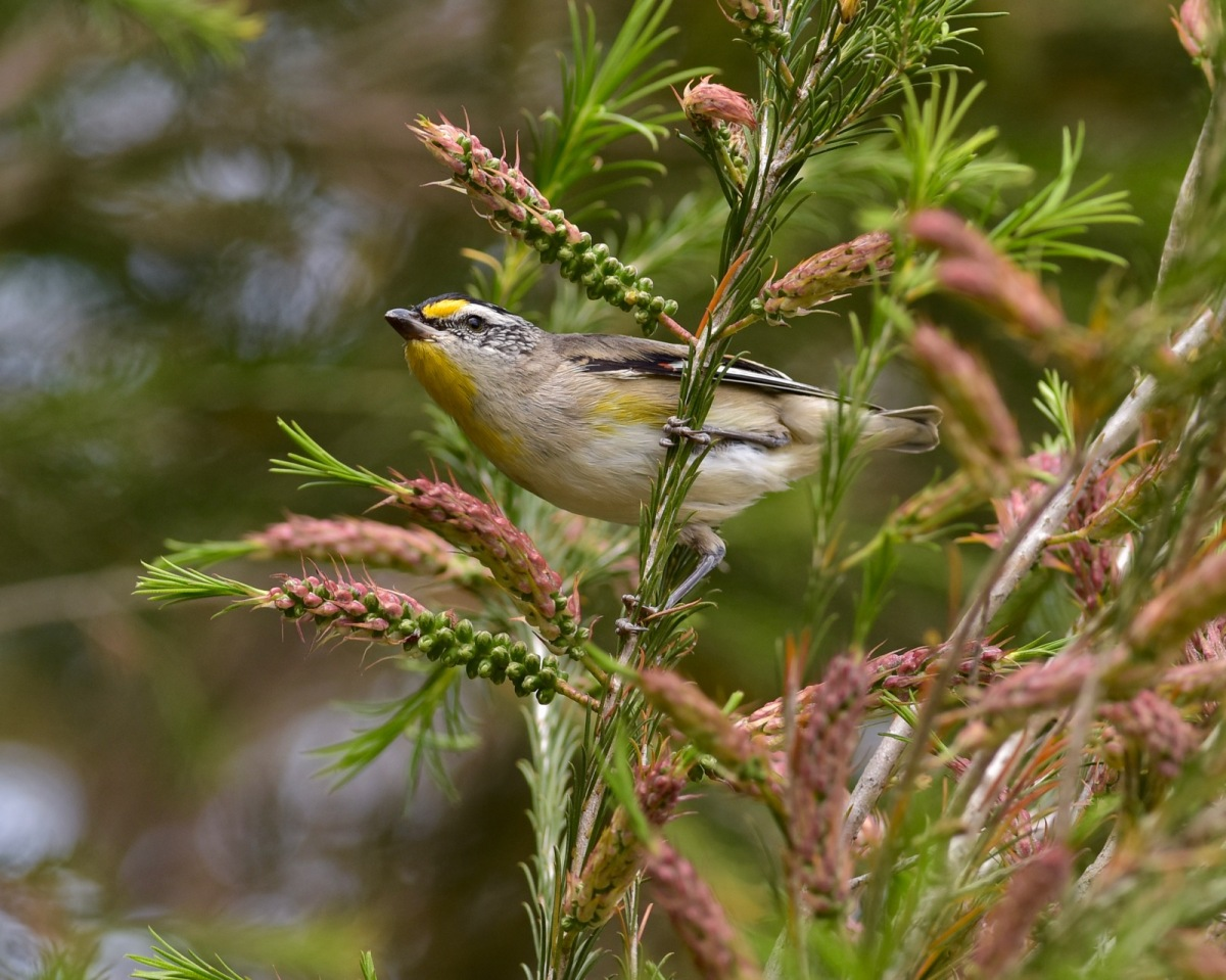 Its only when you get really close that is obvious how tiny a bird the Pardalote really is.