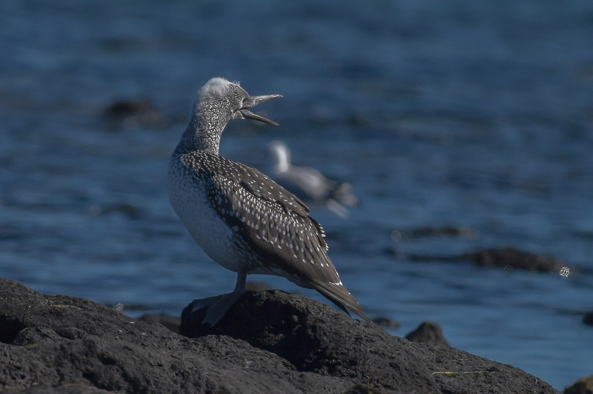 Juvenile Australasian Gannet. Perhaps waiting for adult to turn up with food.