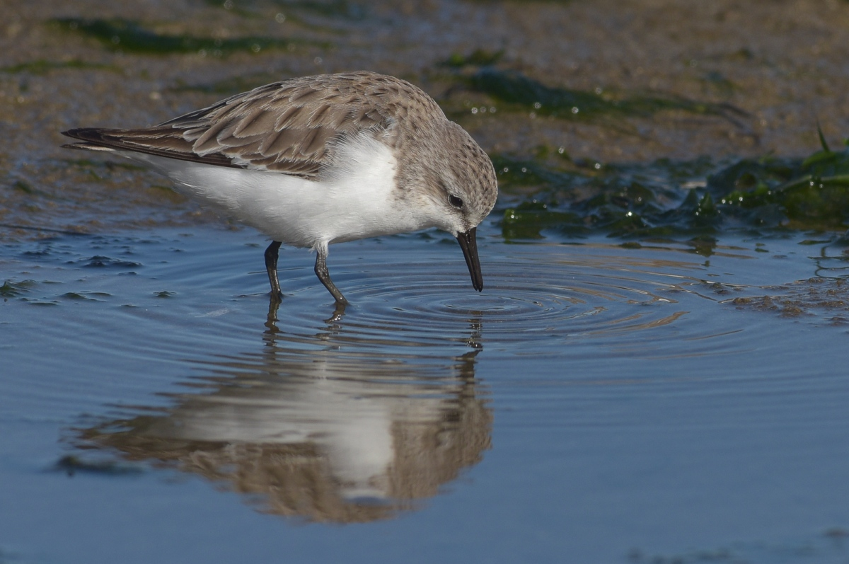 Red-necked Stint. So busy feeding they didn't notice our presence.