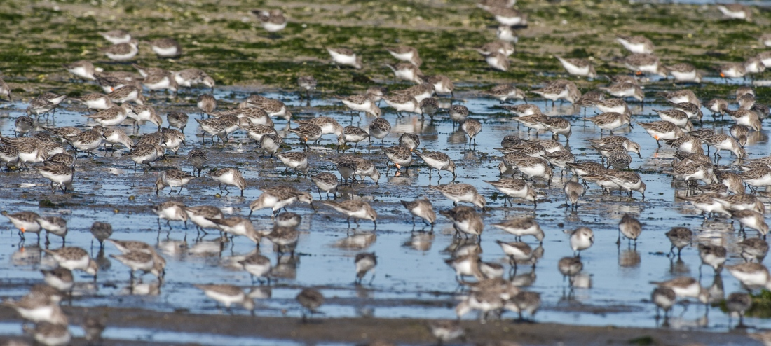 A small sample of the waders at work along the coast on the outgoing tide