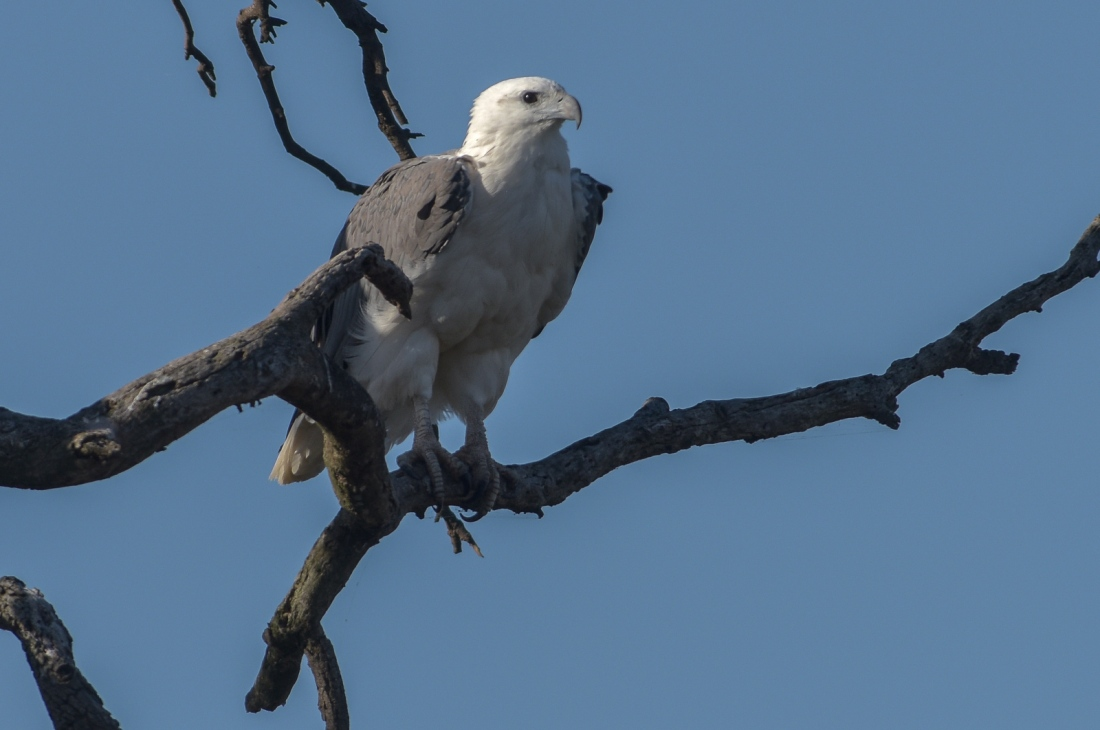 White-bellied Sea-Eagle at rest on Japan Tree. You'll note that the wings are just starting to lift.