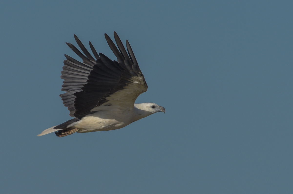 White-bellied Sea-eagle settling down to the business of leaving