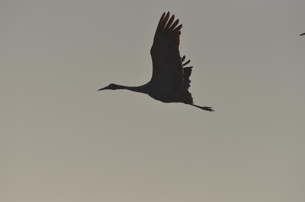 Brolga in silhouette