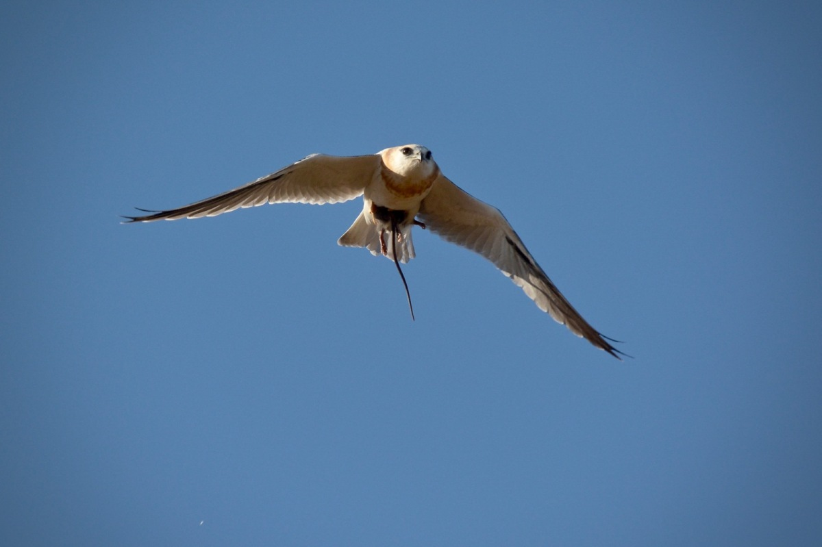 Black-shouldered Kite, on the wing with a recently acquired mouse, courtesty of Kalev-the Brave.