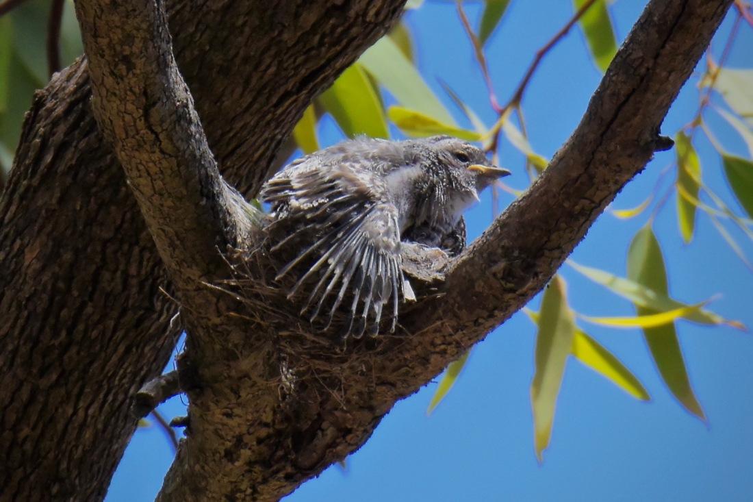 Jacky Winter: Nestling on a wing stretch