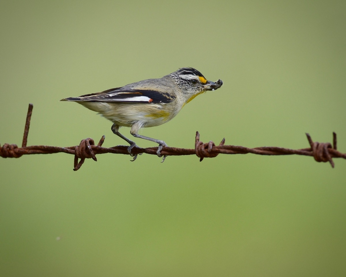Striated Pardalote more feeding