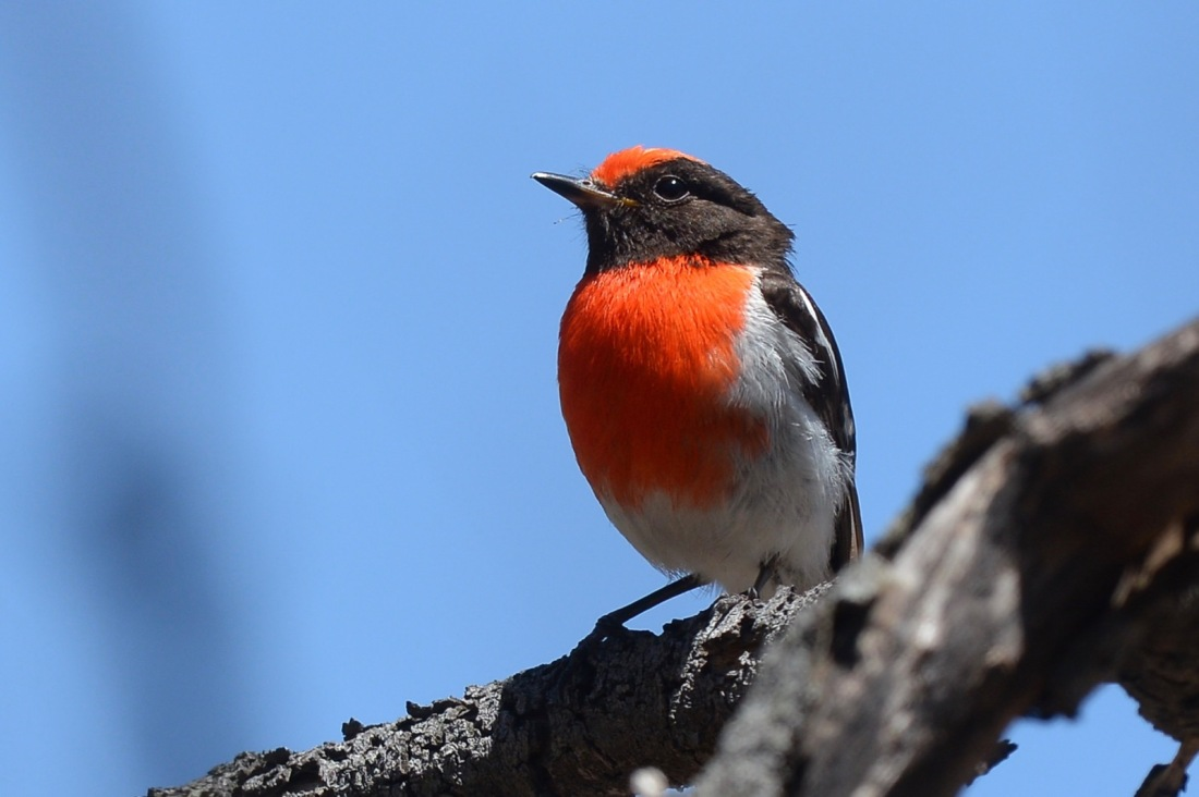 A very busy Red-capped Robin male. He is looking after the recent fledglings while the female prepares for another round