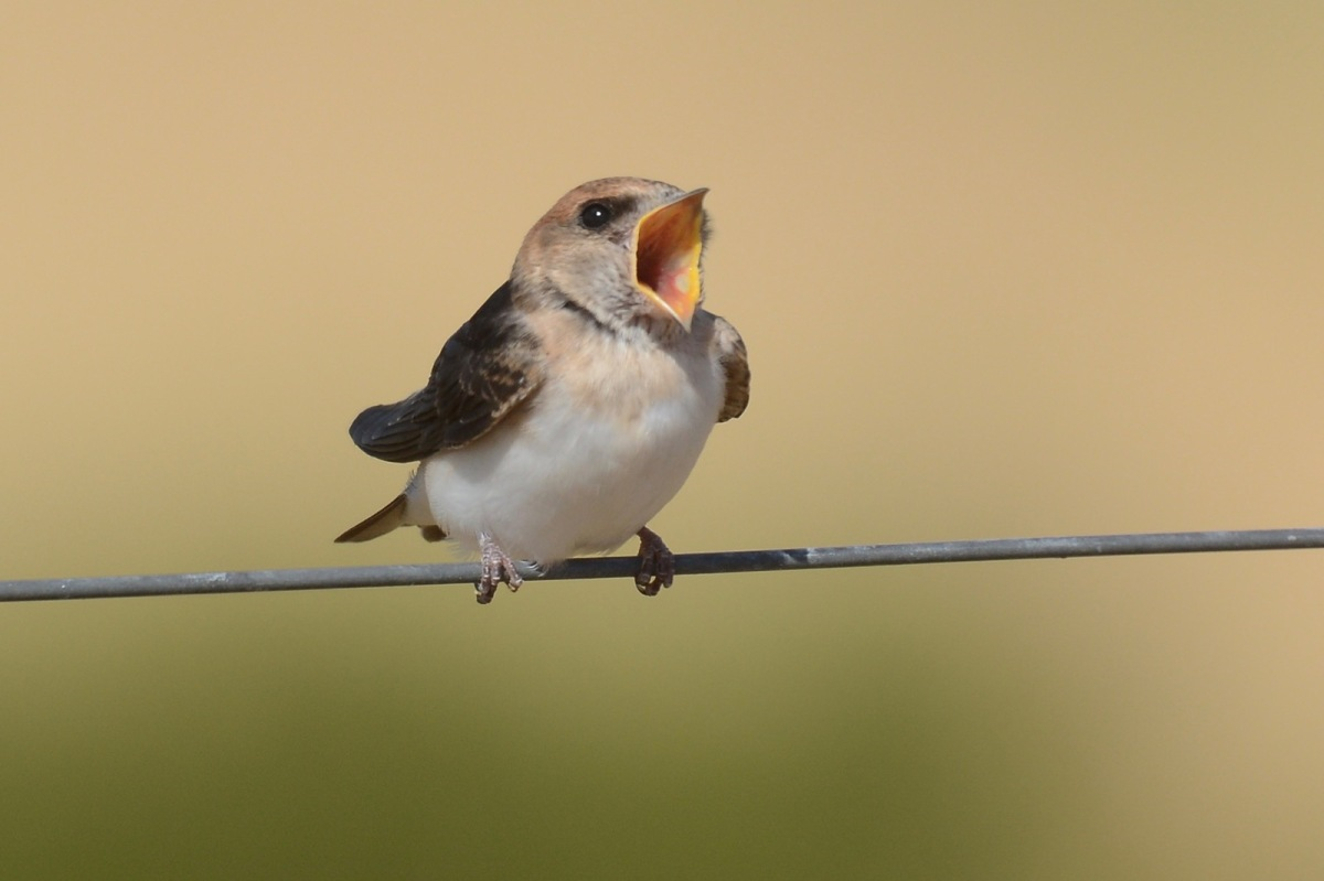 Young Tree Martin waiting for a top up.