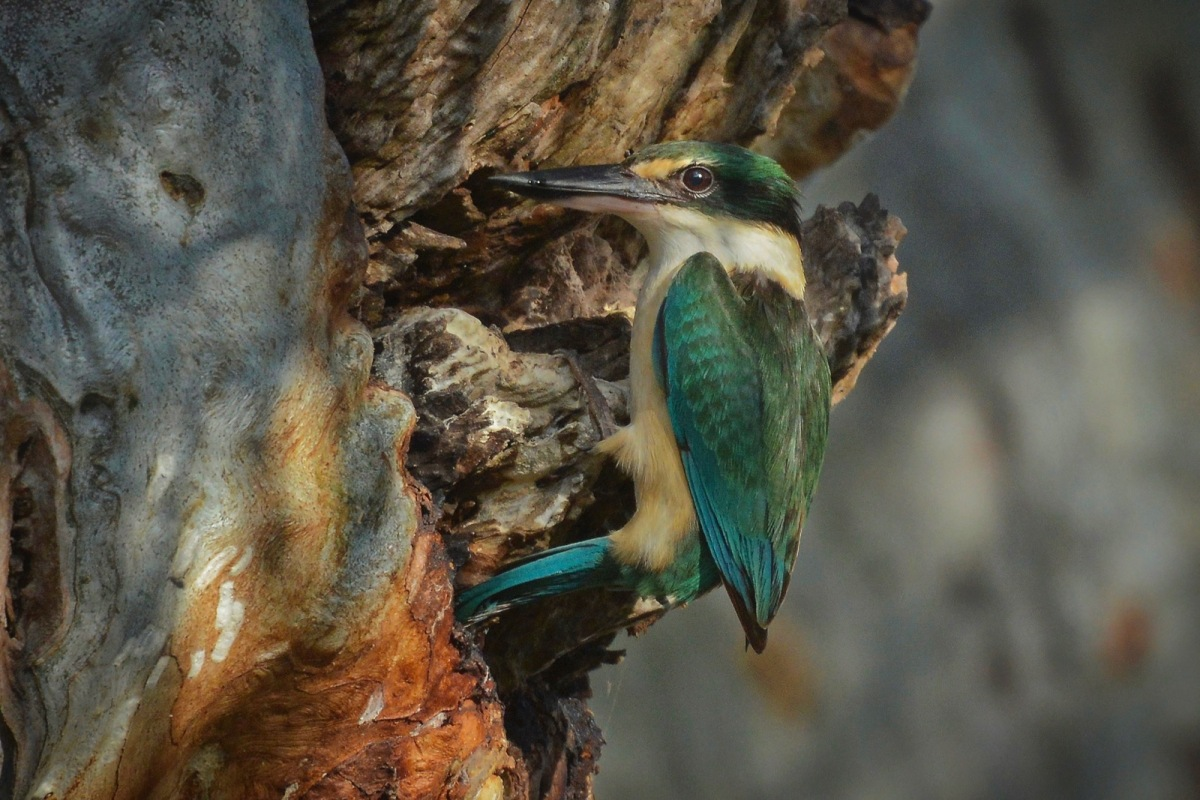 Sacred Kingfisher at nest. It (he?) has just deposited a large lizard in the tiny hole