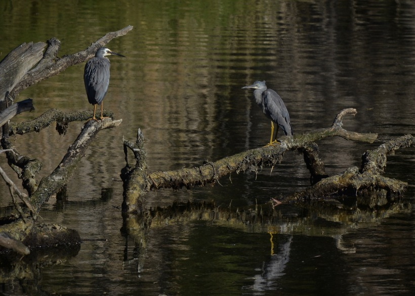White-faced Heron teaching the finer points of fishing