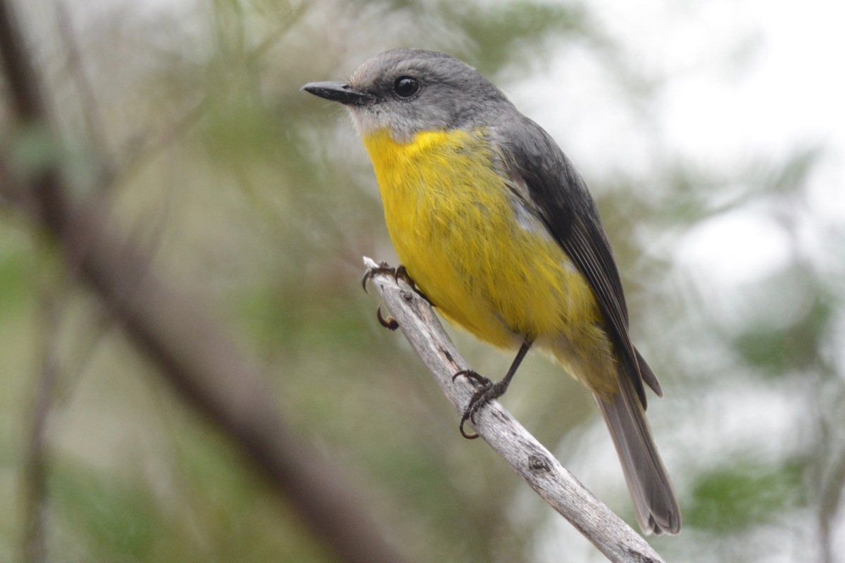 Eastern Yellow Robin. One that the Taggers missed. They have at least one young one in hiding.