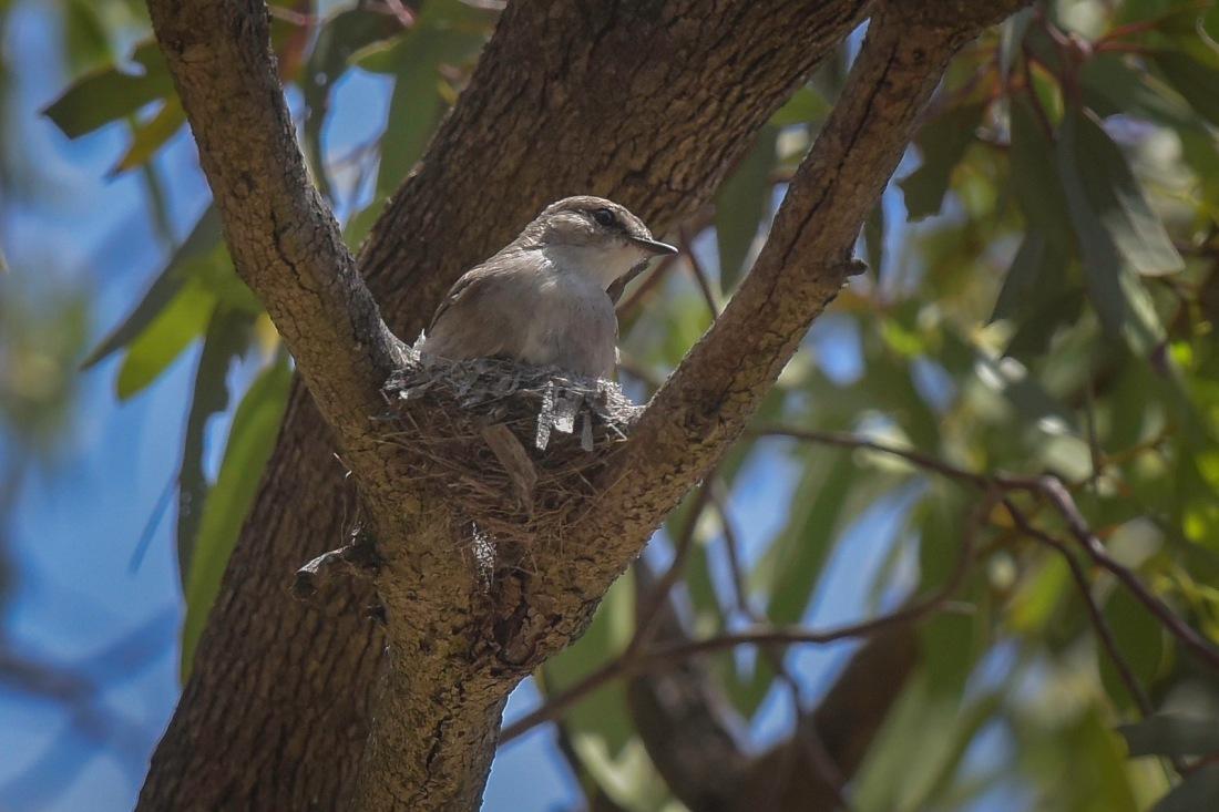 Jacky Winter at nest