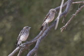 Mum and another of the young fledglings