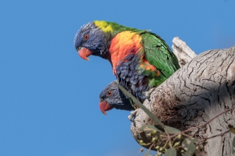 The world probably doesn't need another Rainbow Lorikeet photo