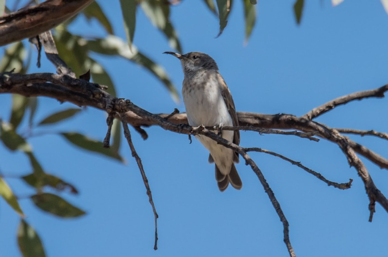 Black Honeyeater (f?)