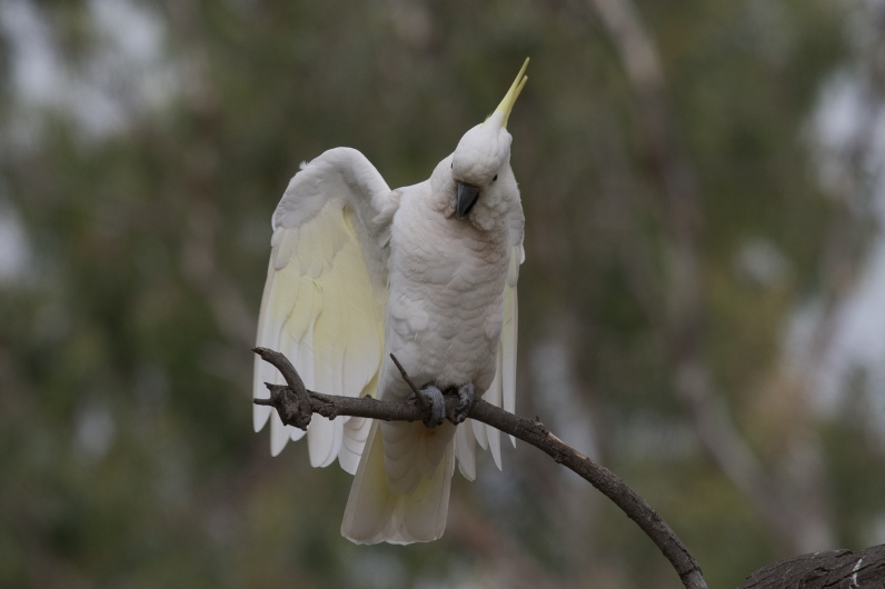 Take my Picture. Sulphur-created Cockatoo
